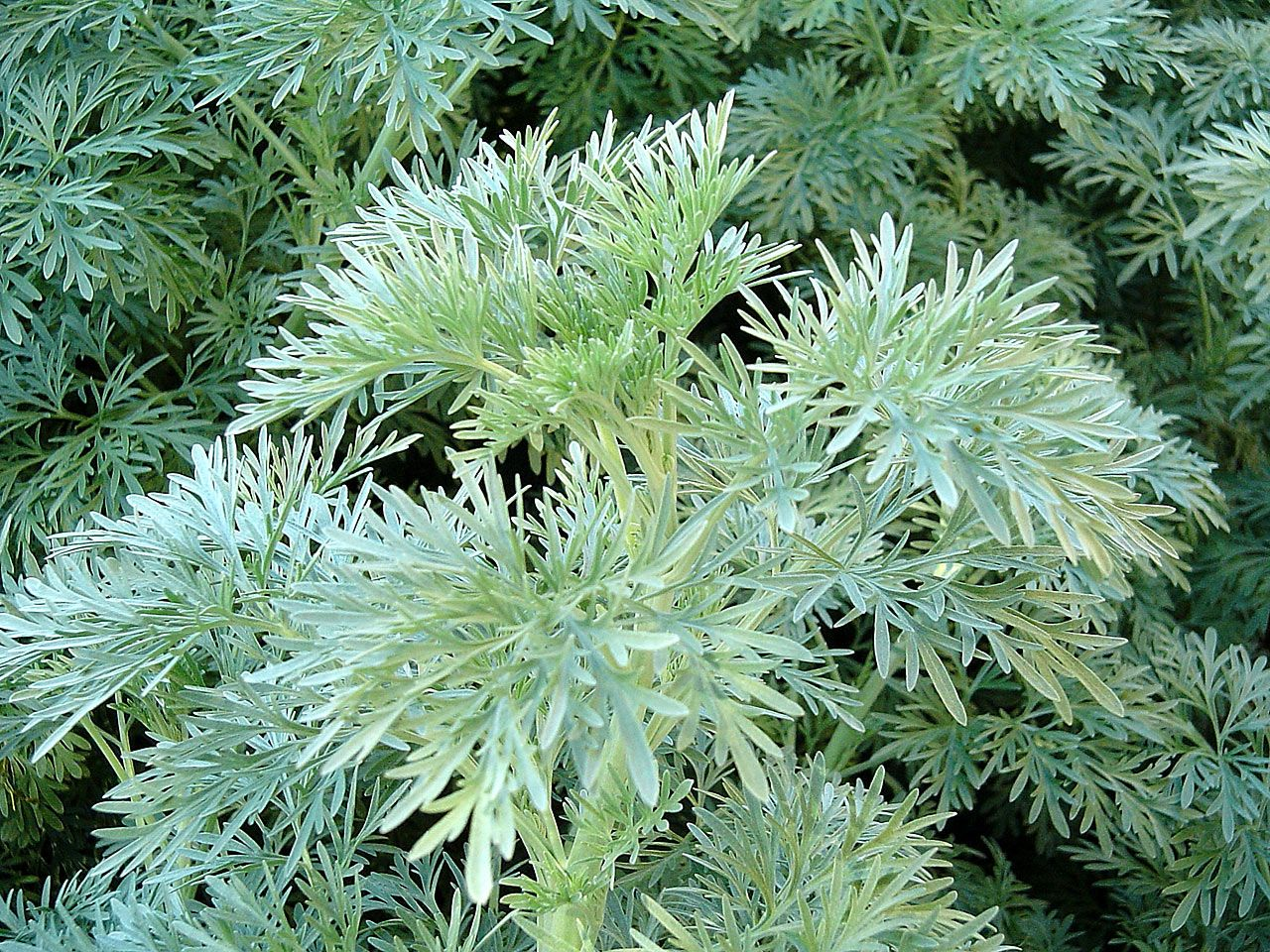 artemesia 'powis castle': wormwood. #foliage #silver #contrast
