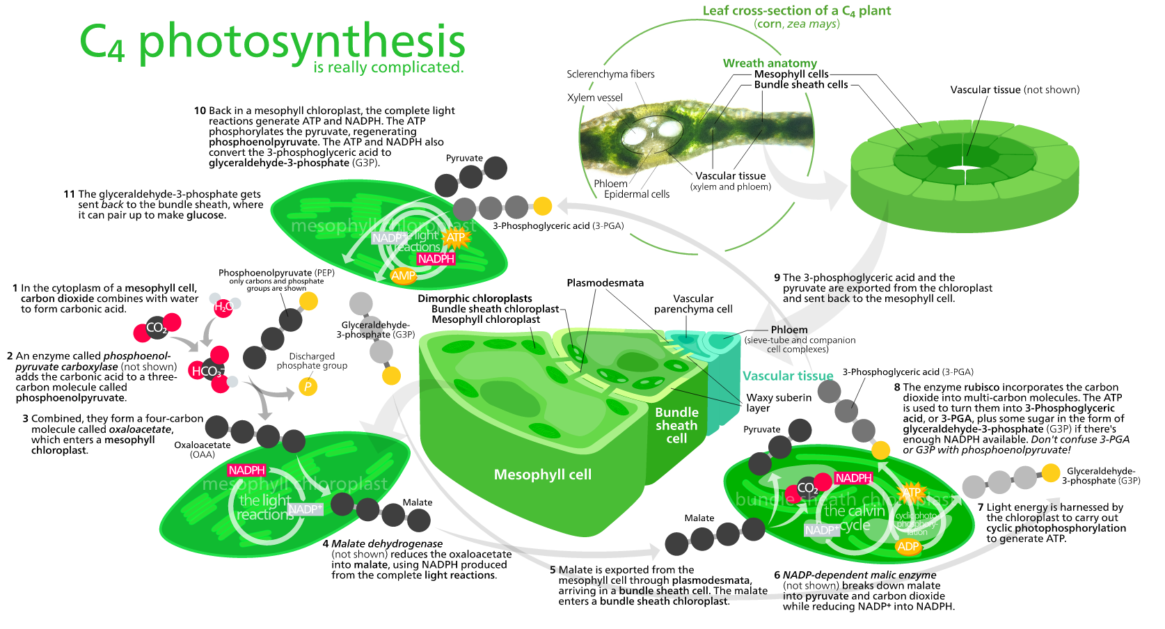 C4 Photosynthesis Diagram