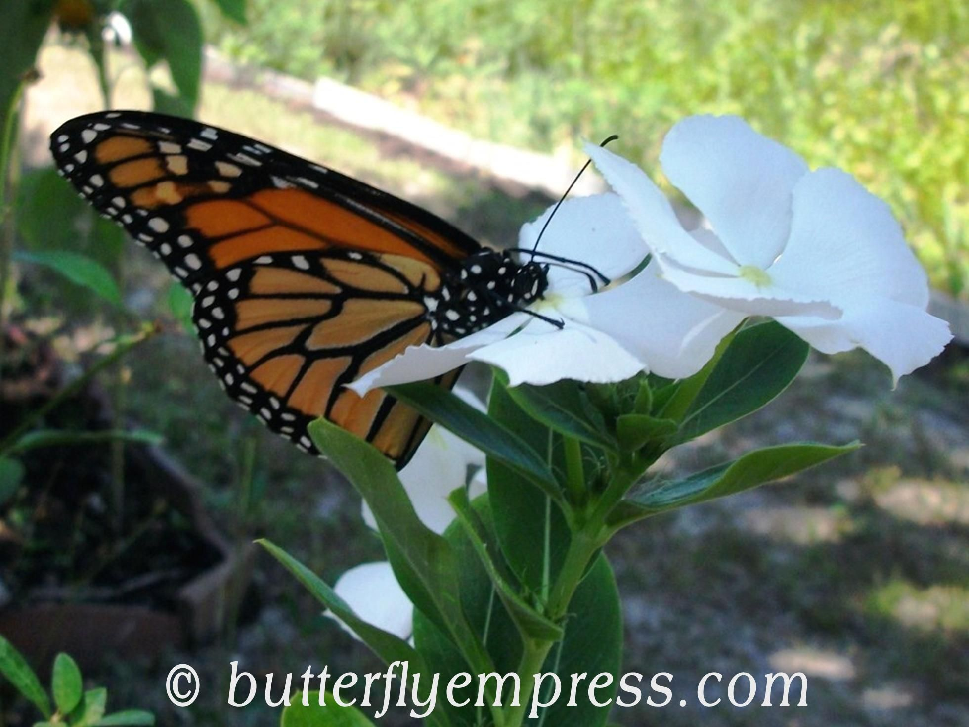 Monarch feeding on Madagascar Periwinkle Butterfly