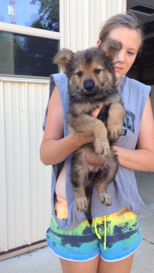 German Shepherd Puppies For Sale In Ohio German Shepherd