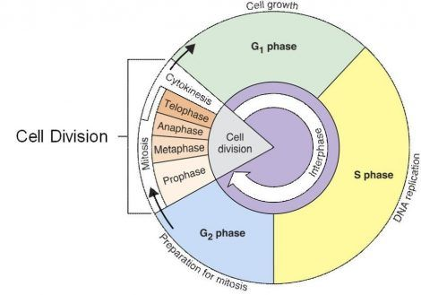 The Cell Cycle Coloring Worksheet Answers 1 | Ggv | Pinterest