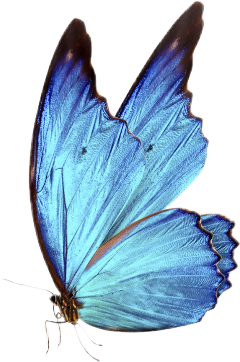 Picsart Photo Studio Blue Morpho Butterfly Blue Butterfly Fly Drawing