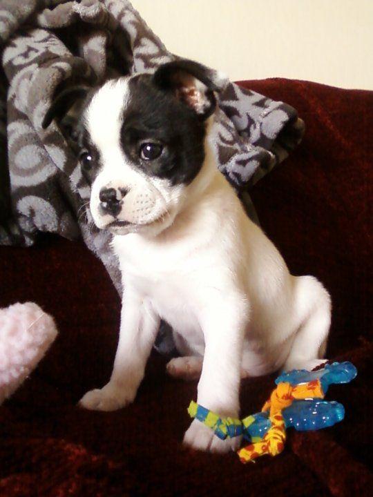 Jackson 6 Week Old Boston Pit Puggle Mix 3 I Love Dogs