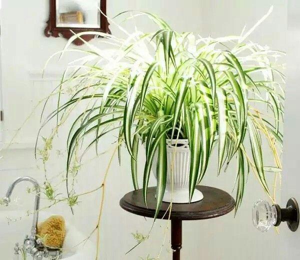 La cinta o cintas chlorophytum comosum es una planta - Cinta planta ...