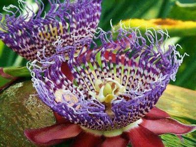 Cultura Guaraní: Passiflora racemosa