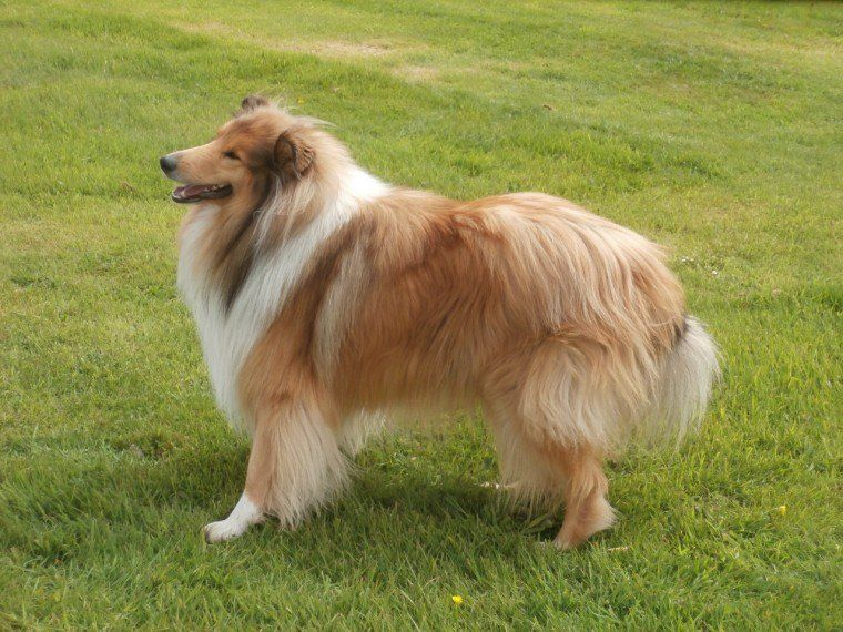 Beautiful Rough Collie Puppies Rough Collie Puppy Collie