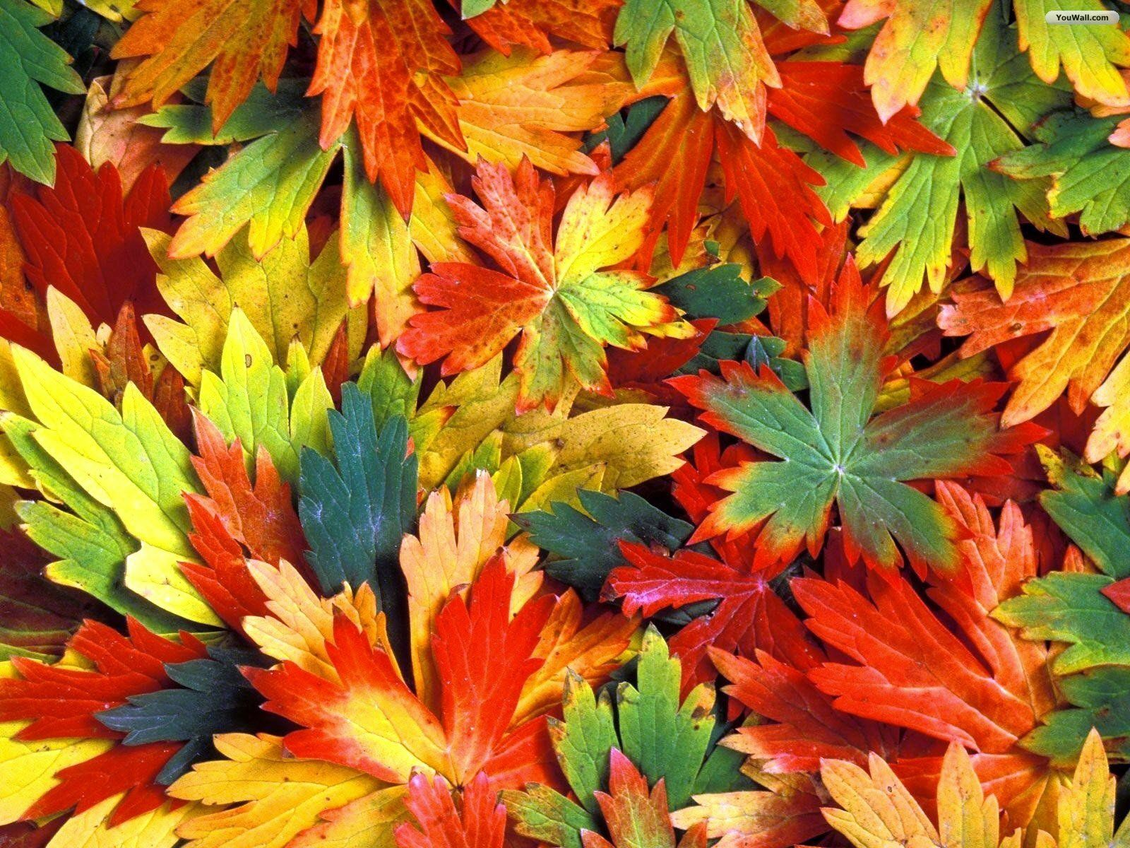 Autumn Leaves HD Wallpaper Wide Free Download #c60 1600x1200 px 478.88 KB