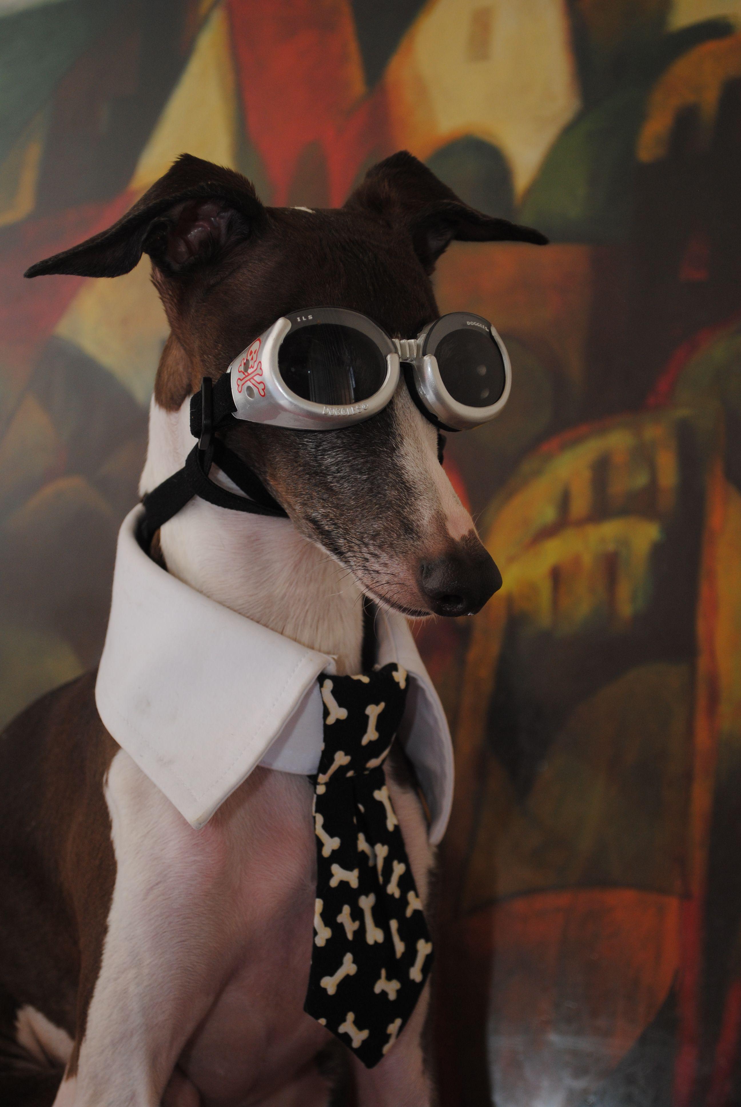 Antonio the Italian Greyhound.