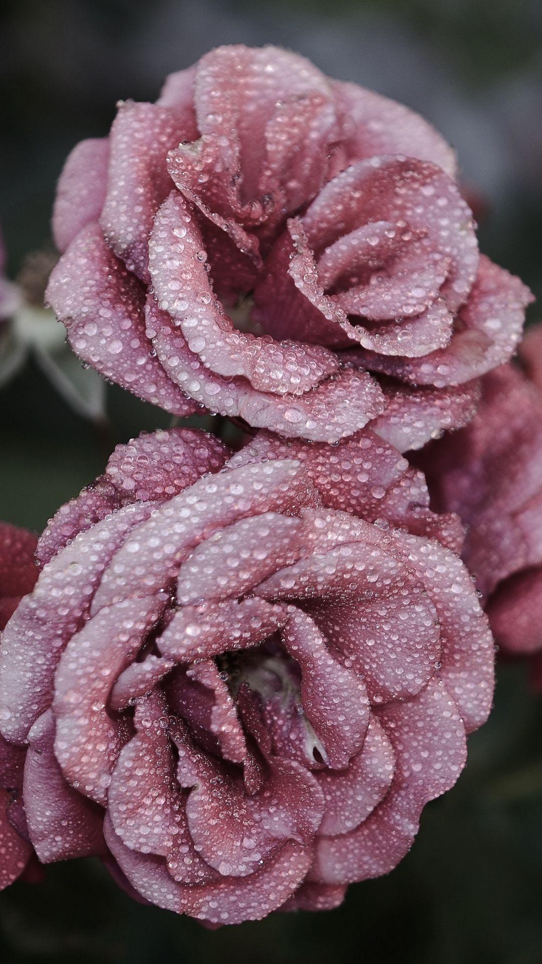 Roses Petals Drops Frost iPhone 6 plus wallpaper
