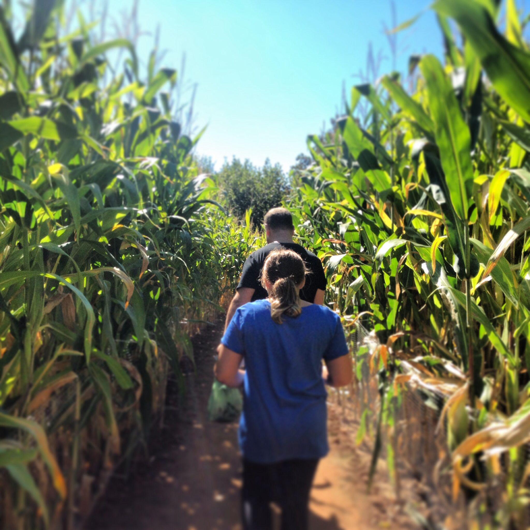Corn Maze Lyman Orchard Middlefield Ct Middlefield Lyman Growing Up