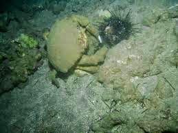 Dromioidea