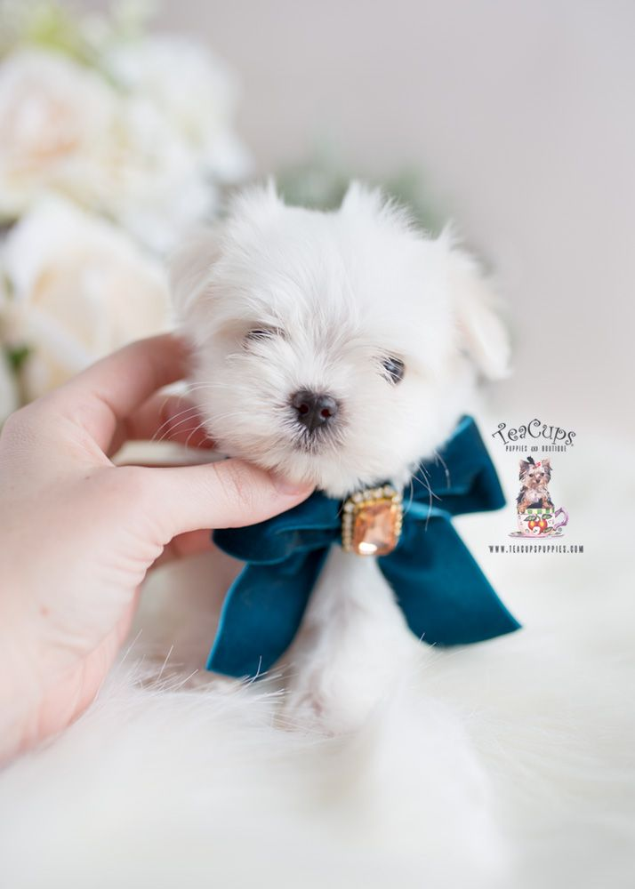 Toy and Teacup Maltese Near Miami Florida (With images