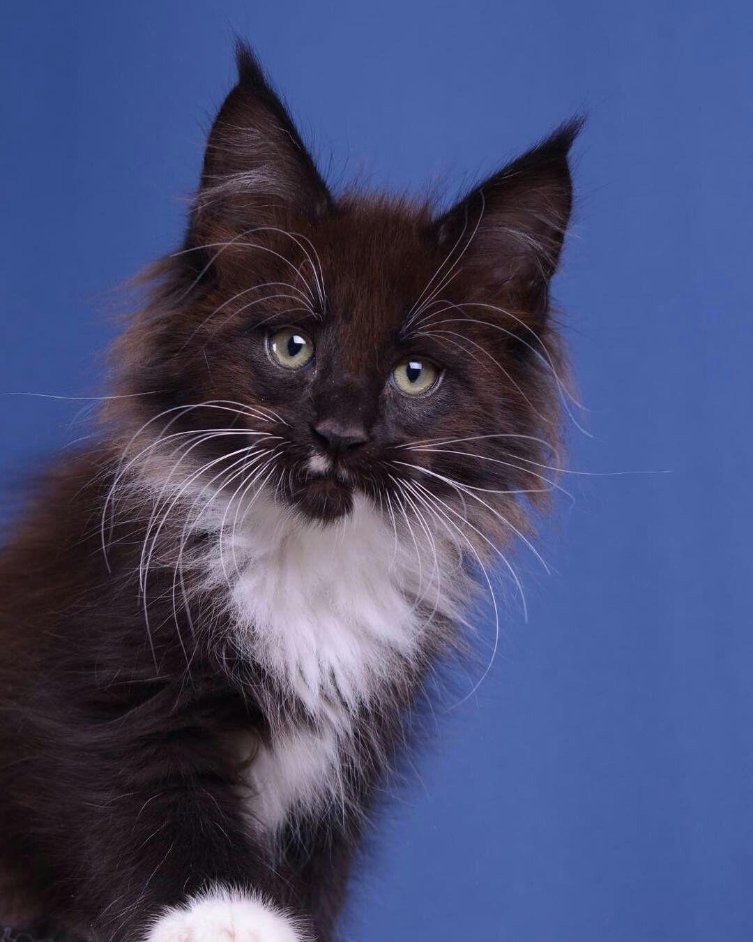 Yoshi Akellaleader Boy 2 Months Cat Furry Kittens Cutest Cats