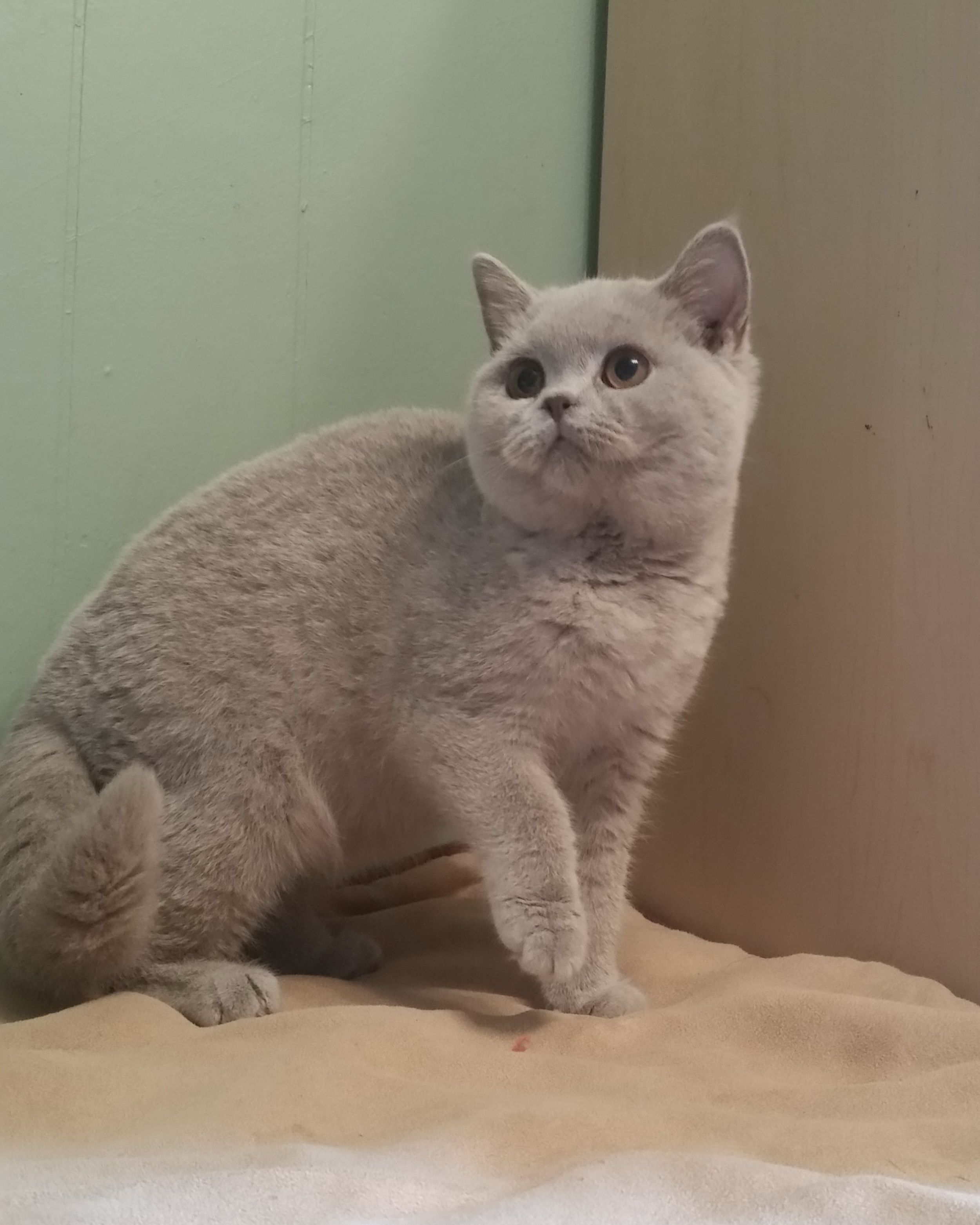 Pin By Natalia Foster On British Shorthair And Scottish Fold Cats