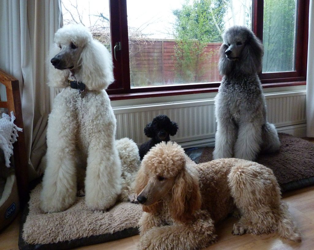 Waiting for the party to start! (With images) | Standard poodle ...
