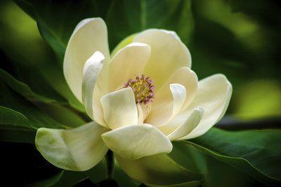 magnolien lassen sich einfach vermehren gr nes und mehr im haus und garten magnolien b ume. Black Bedroom Furniture Sets. Home Design Ideas