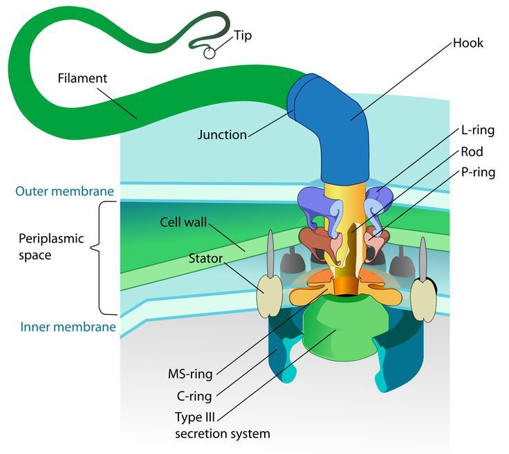bacterial motors come in a dizzying array of models cell on cell wall function id=75714