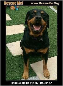 California Rottweiler Rescue Adoptions Rescuemeorg Rotties