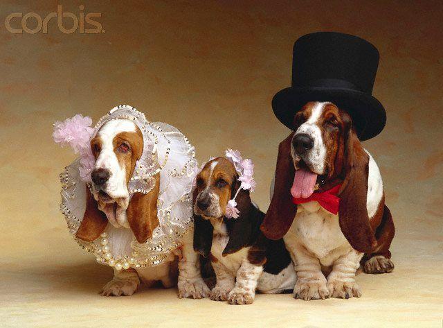 Basset Hound Wedding Hound Puppies Cutest Puppy Ever Basset Hound