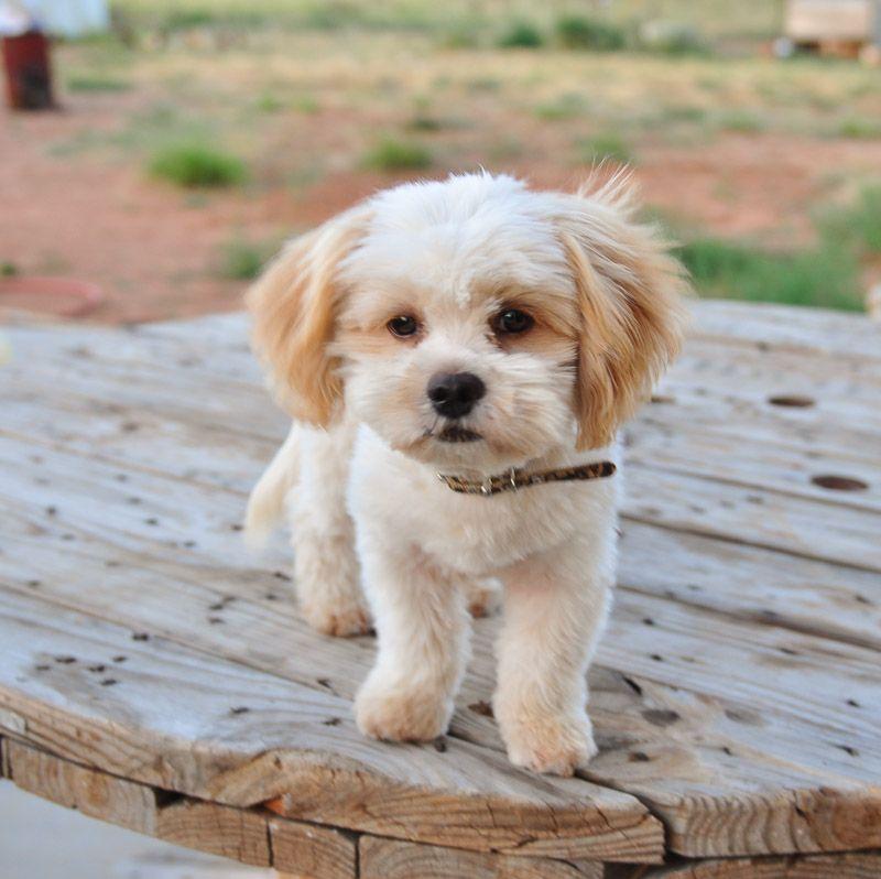 Shih Poo Shih Tzu Poodle Mix Facts Temperament Training Diet