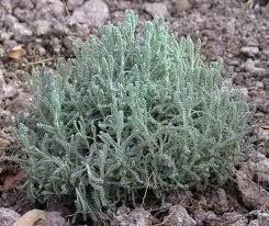 """Often called """"Lavender Cotton"""" it really is not a lavender at all.  It's gray santolina, also available in green, and is great for training and trimming in pot as Xmas tree, or for lining walkway.  The grey is perfect for outlining path of walk at night as foliage reflects moonlight and aids in navigating."""
