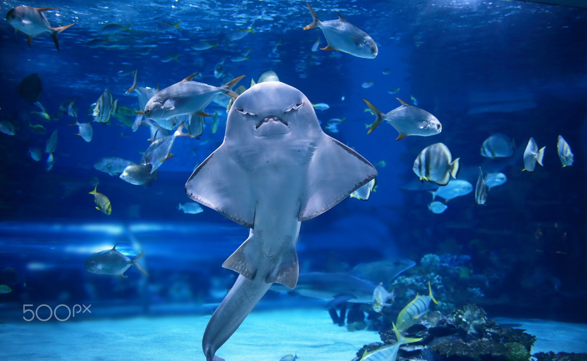 angel shark angel shark in aquarium you can see it s stomach as it