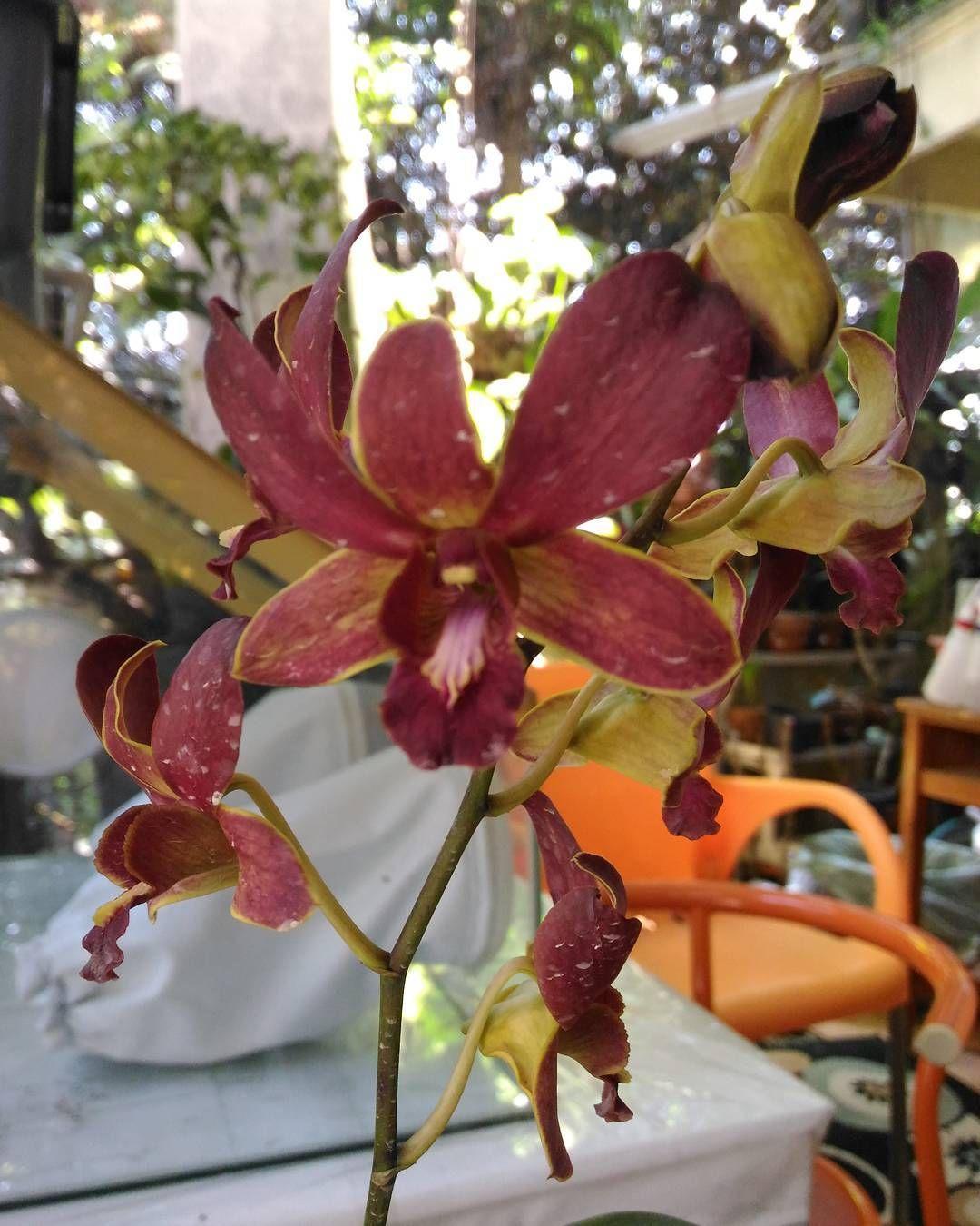 Anggrek Dendrobium Anggrek