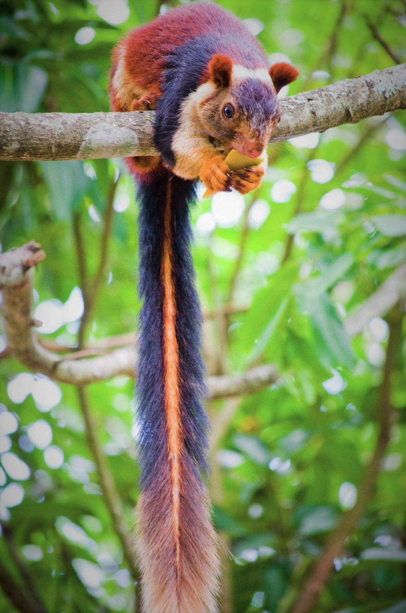 Malabar Giant Squirrel Unusual Animals Unique Animals Indian Giant Squirrel