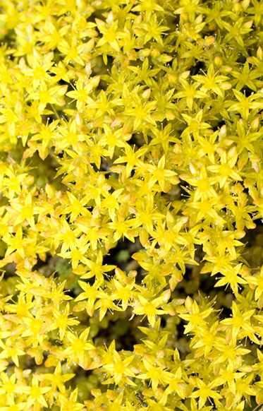 Ca friendly plant stonecrop blooms clusters of small star shaped ca friendly plant stonecrop blooms clusters of small star shaped flowers in a variety of sizes colors the plants name means sprouting from the stone mightylinksfo