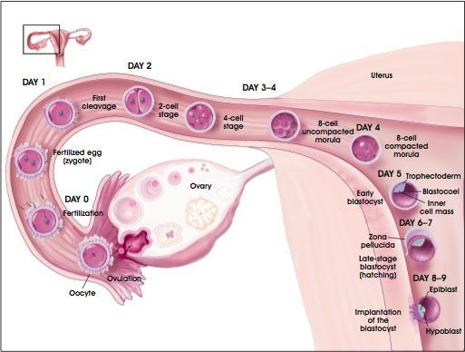 timeline of conception implantation picture very cool pregnancy