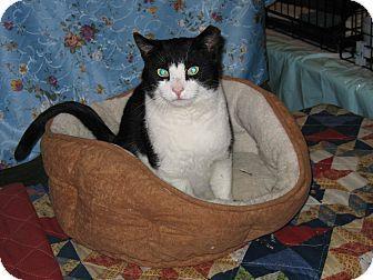 Bo Adoptable Pet Adoption Pets Cats