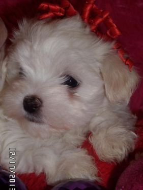 Cute Ckc Maltese Puppys Dogs And Puppies Cute Animals Puppies
