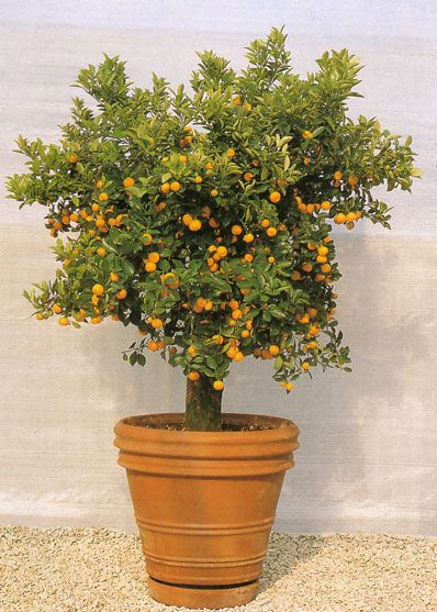 Dwarf Valencia Orange Tree Potted For Easy Movement