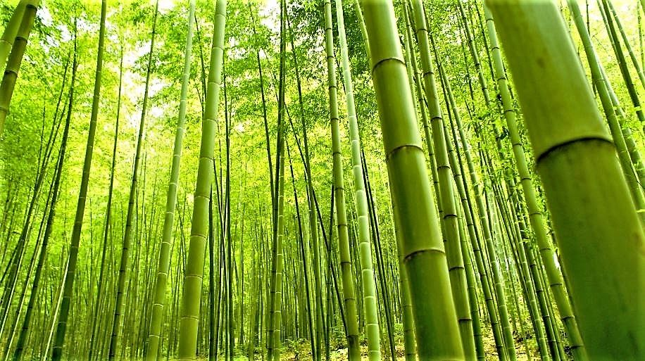 Moso Bamboo Forest Bamboo Wallpaper Bamboo Tree Bamboo Forest