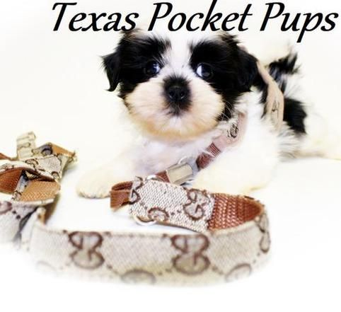 Dallas TX Teacup Chihuahua Puppies For Sale Dallas Texas