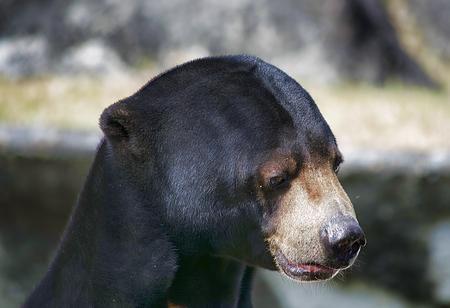 Malayan Sun Bear Photo by Alvaro Barrera — National Geographic Your Shot
