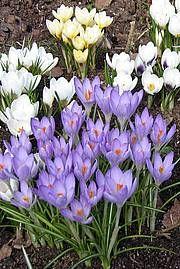 Kevätsahrami - Crocus vernus - vårkrokus