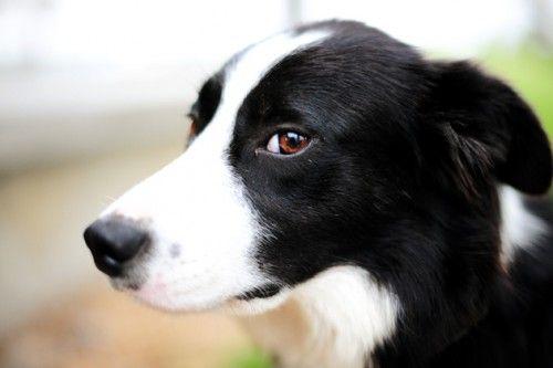 Reunited Stray Bordercollie Dog Mosman Nsw 2088 Short