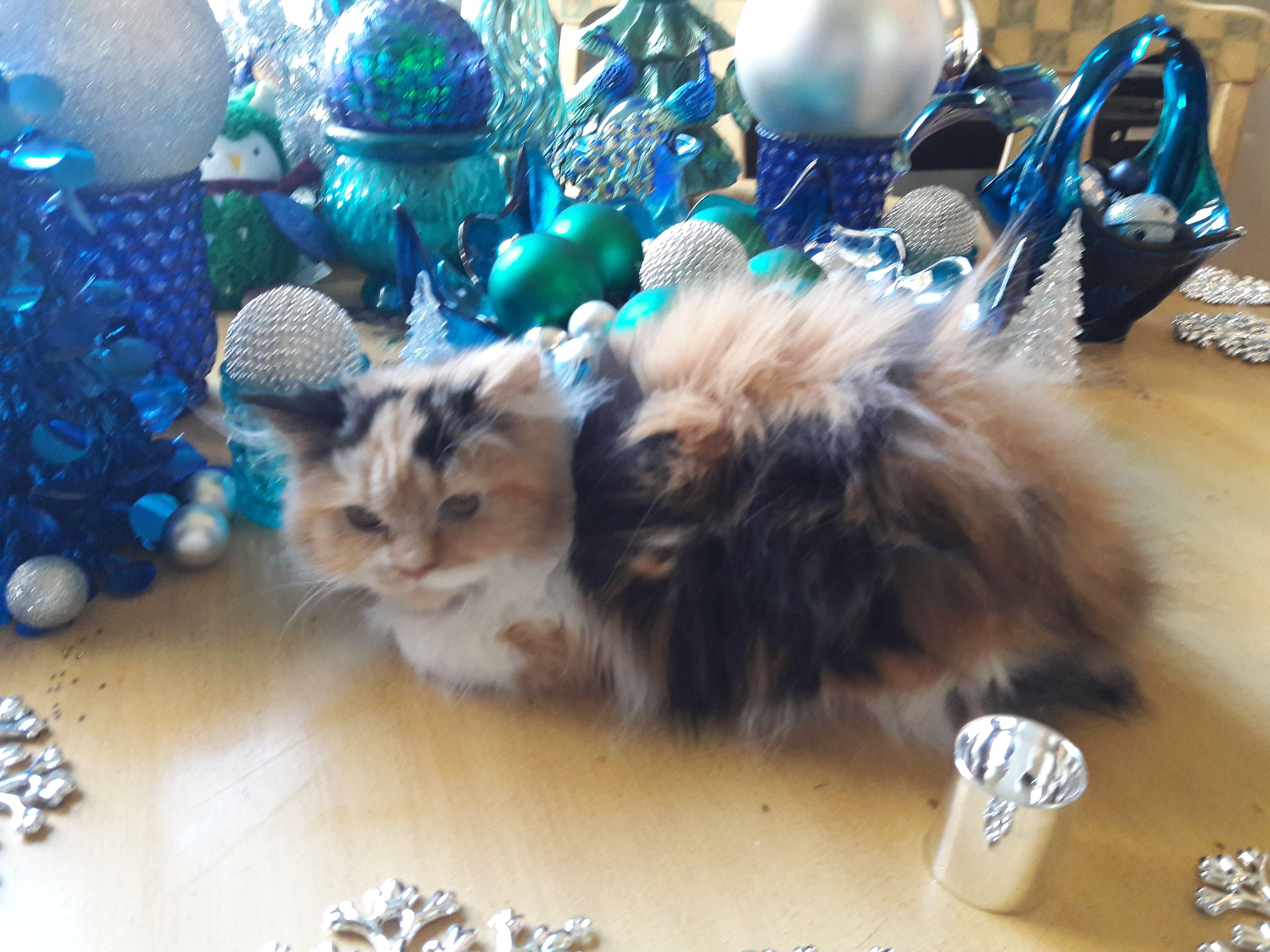 Persian Cat Image By Dawn Dalyce On Posey S Precious Persian Purralots Persian Kittens
