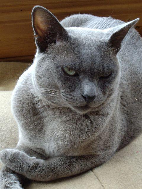 Chloe The Unimpressed Burmese Cat 26 12 2006 Burmese Cat Cats And Kittens Pretty Cats