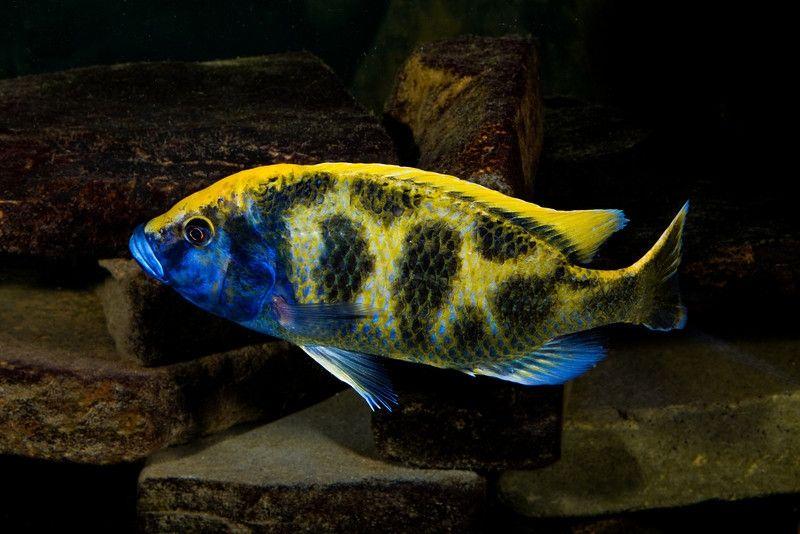 Leopard Zolotoj Nimbochromis Venustus Akvariumnye Rybki Cichlid Fish African Cichlids Cichlids