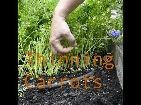 Thinning Carrots in the Fall garden | West Coast Garden 2019 | PNW