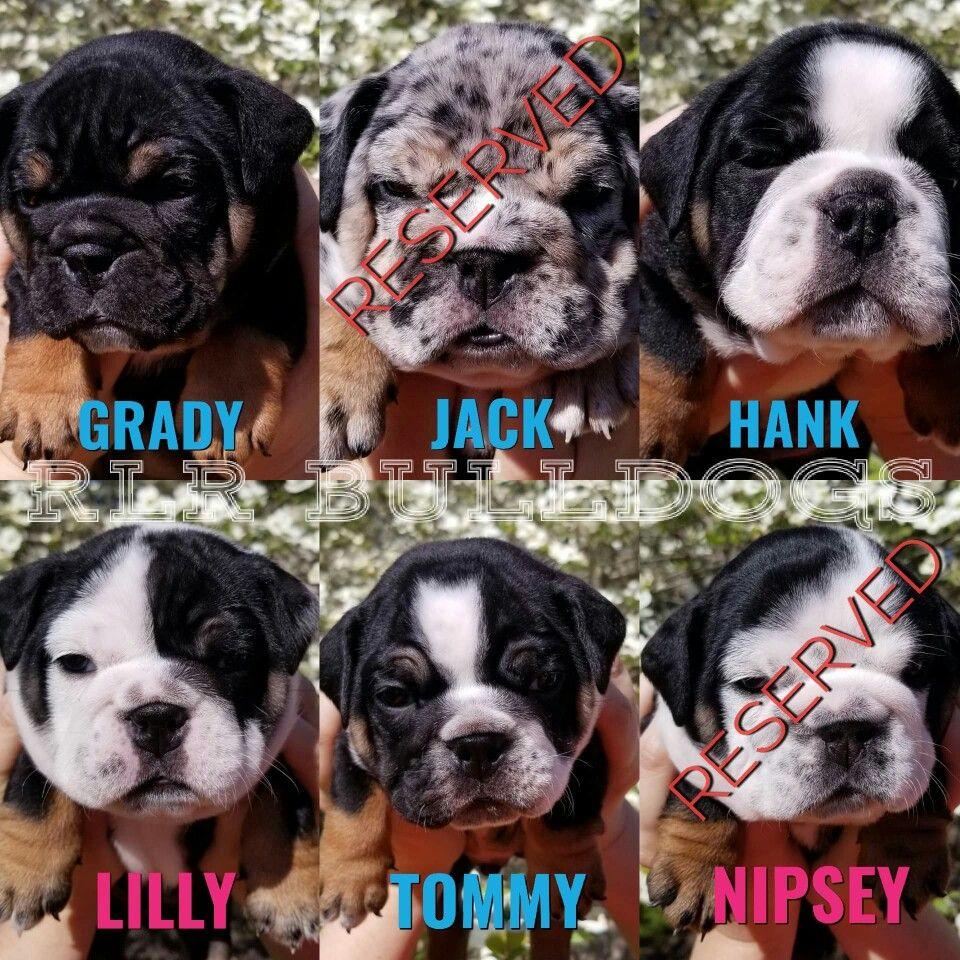 Quality English Bulldog Puppies Available At Rlr Bulldogs Taking