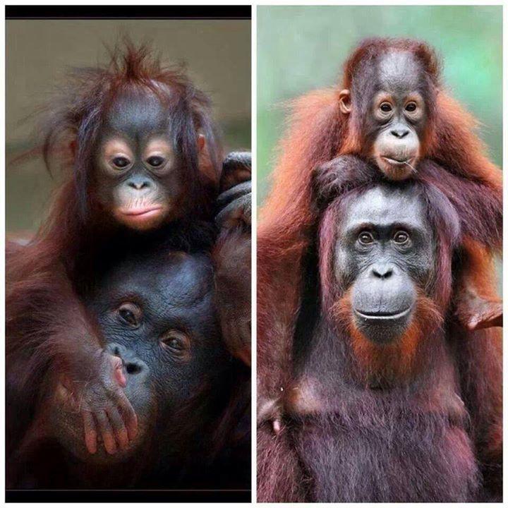 - Orangutans ♥♥♥
