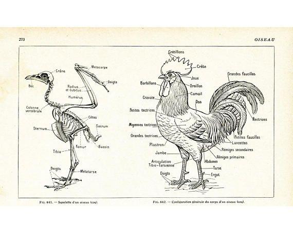 1922 Antique Bird Anatomy Vintage Hen Skeleton Lithograph Antique