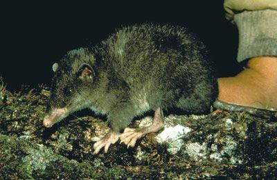 The Disillusioned Taxonomist: It's a shrew opossum!