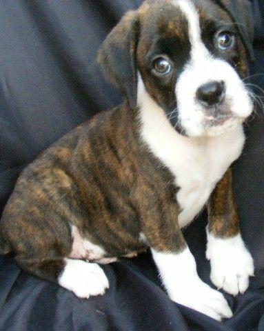 Popular Brindle Boxer Bow Adorable Dog - 360db6aa403eeff6e06b16640ddedeb6  Gallery_949752  .jpg