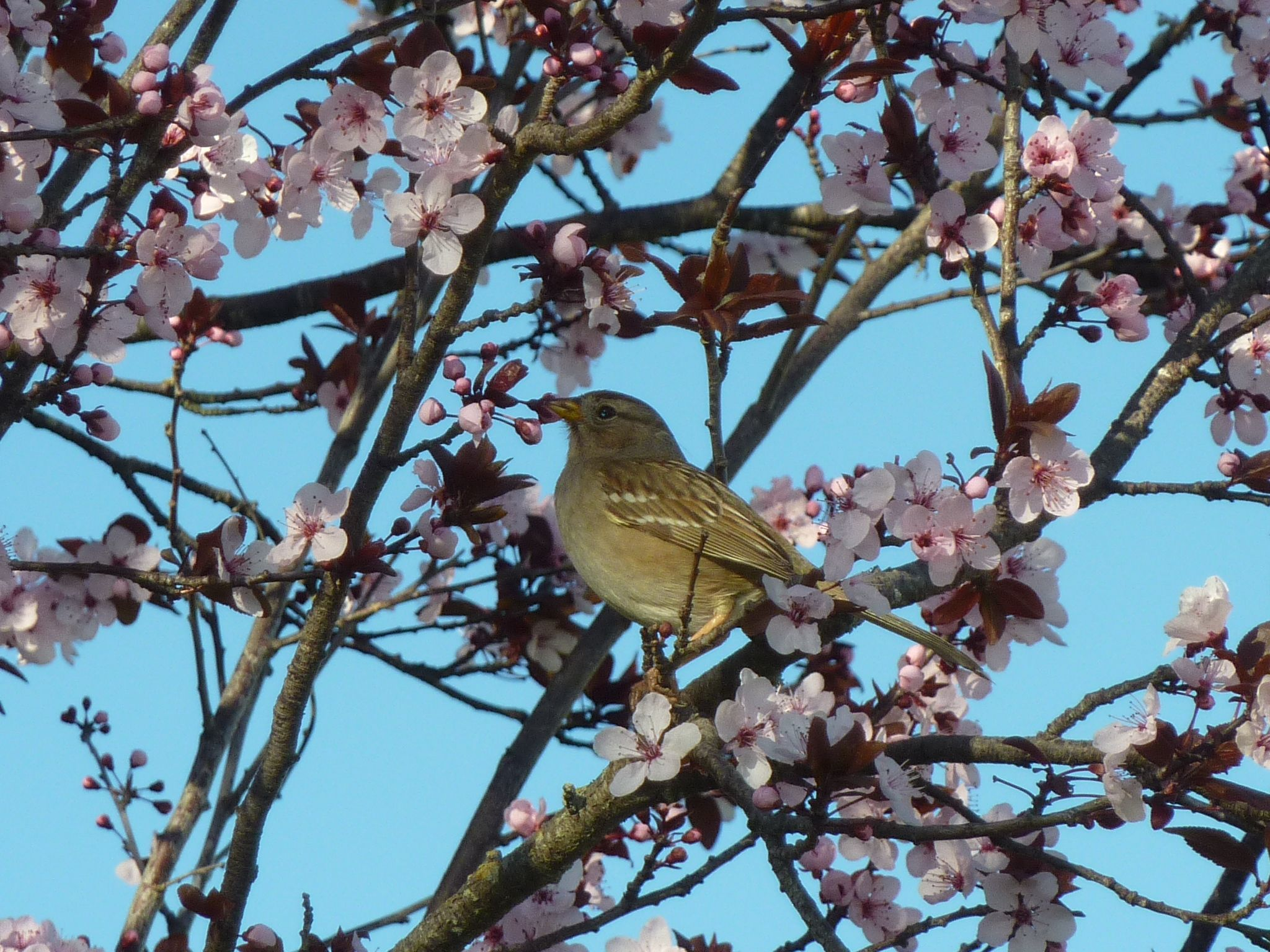 Bird in ornamental plum tree Alta Park SF