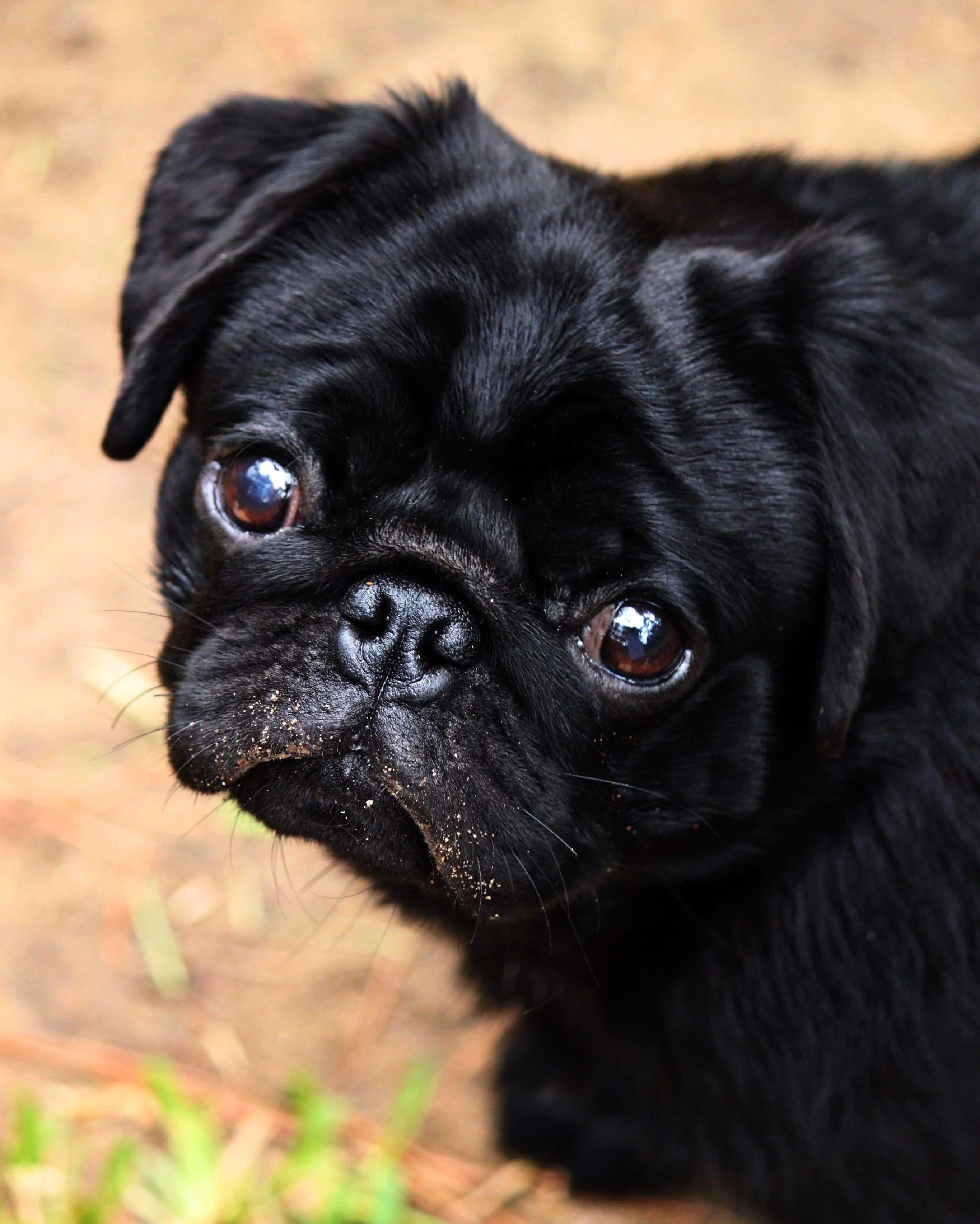Boo The Black Pug Pugs Black Pug Pug Love