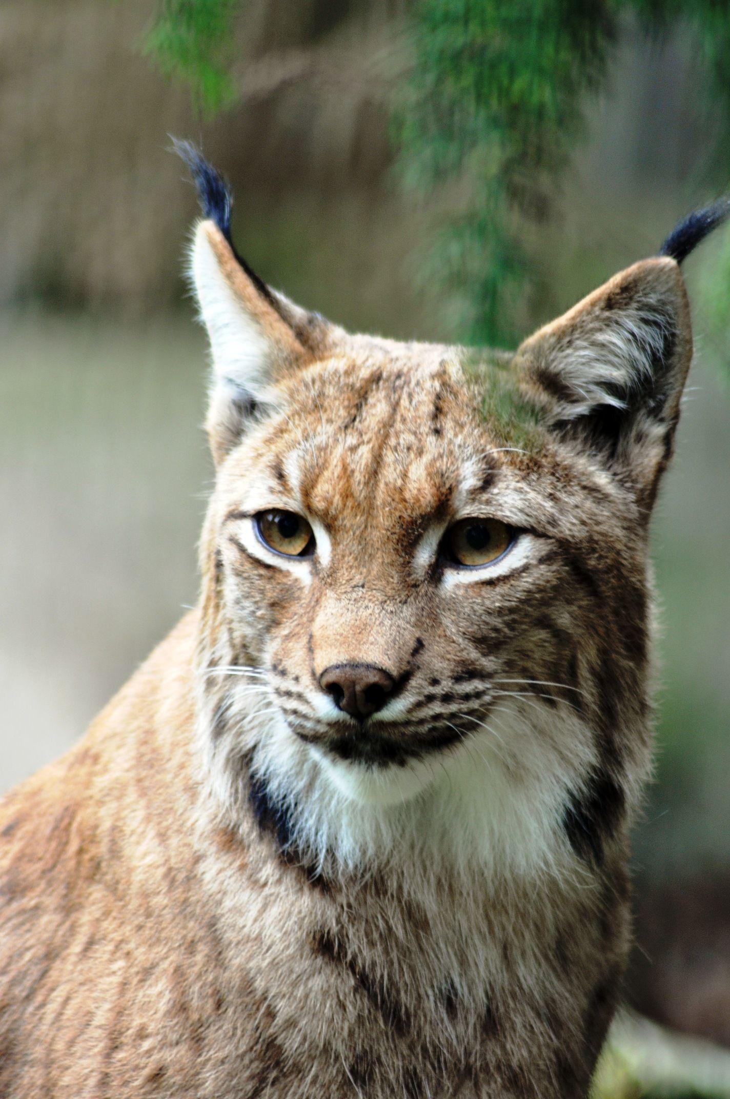 Pin by Brooke on Cats Pretty animals, Eurasian lynx, Animals